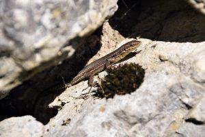 Lizard outside Base Calames