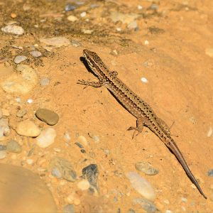 Lizard in the Ariege Pyrenees
