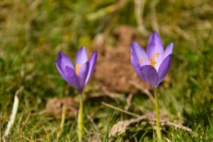Crocus in the Ariege Pyrenees