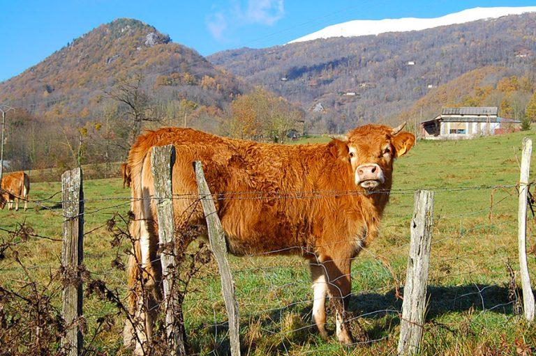 A pyreneean cow