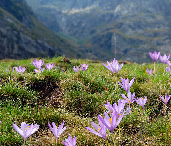 Wild Crocus flowers in the Ariege Pyrenees